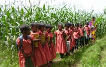 制服を着て集団登校するサンタルの子どもたち。通学路には背の高さの倍くらいのトウモロコシが育っています。