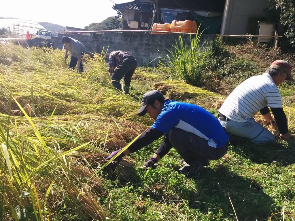 三田農園の田んぼで稲刈り体験。自分の田んぼを持っているキルは手慣れたもの。