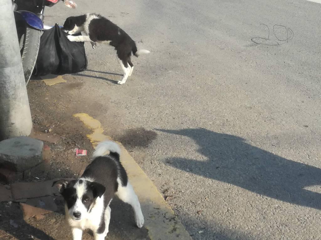 ロックダウン直前に肉屋の前に生まれた犬も大きくなりました。