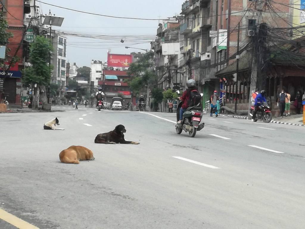 歩行者に対しては避けない車両も犬と牛なら避けるネパール